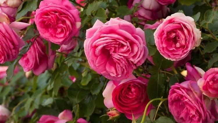 rosa2021